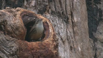 A Treecreeper leaves its nest hollow in a tall tree