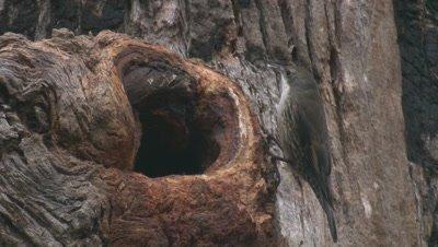 A Treecreeper seemingly forages near its nest hollow