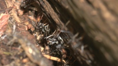 An army of ants carry larvae to a safe location