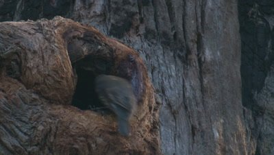 A treecreeper slips into a tree cavity