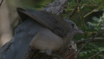 A Grey Shrike-thrush is pecking into a food source