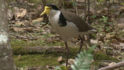 A Masked Lapwing runs around and calls