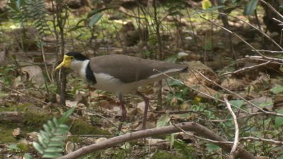 A Masked Lapwing walks and calls at the forest margin