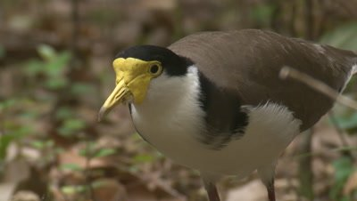 A Masked Lapwing forages at the forest margin and calls