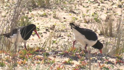 Change of shift for incubating Pied Oystercatchers