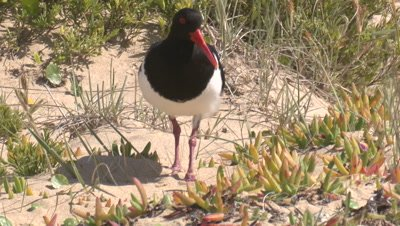A Pied Oystercatcher walks to its nest in a coastal dune