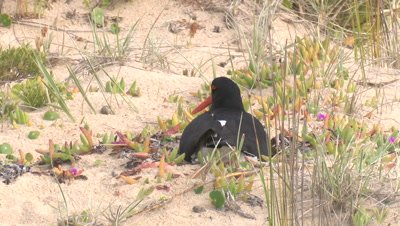 A Pied Oystercatcher shakes its head while incubating eggs