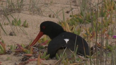 An Oystercatcher arranges things around the nest while incubating