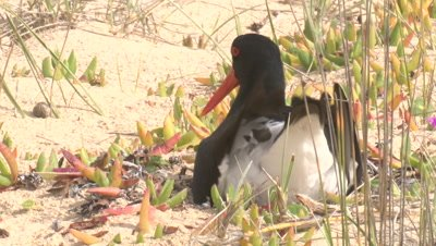 A Pied Oystercatcher sits down on the nest to incubate eggs