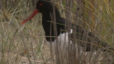 A Pied Oystercatcher wanders through coastal dunes