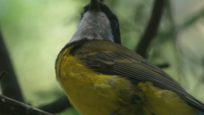 A Golden Whistler sings and departs from its perch