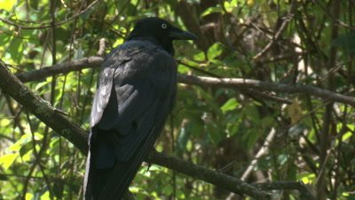 An Australian Raven preens on its perch