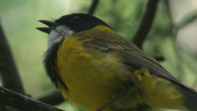 A Golden Whistler sings on its perch and leaves