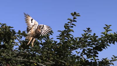 Long eared Owl, asio otus  Taking off from  apple tree, Slow motion