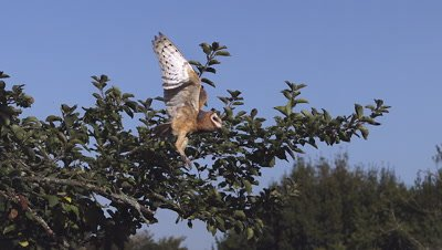 Barn Owl tyto alba Taking off from  apple tree, Slow motion