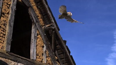 Barn Owl tyto alba Taking off from barn, Slow motion