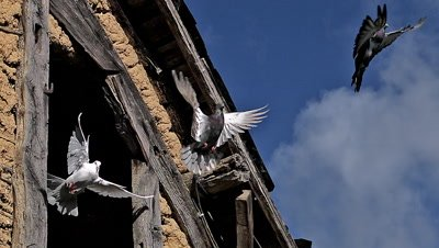 White dove and Pigeon Taking off from barn, Slow motion