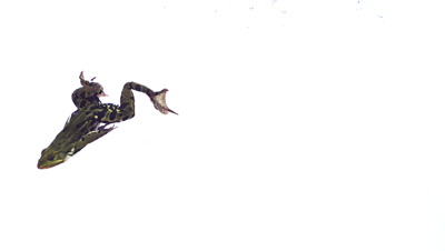 Edible Frog rana esculenta swimming, slow motion