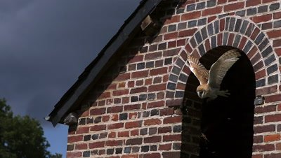 Barn Owl, tyto alba, Adult in Flight, Taking off from Attic, Normandy in France, Slow Motion