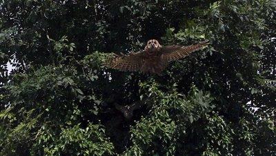 Little Owl, athene noctua, Adult in Flight, Taking off from Tree, Slow Motion