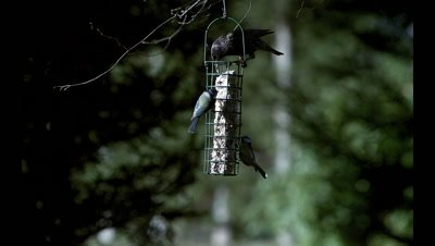 Blue Tits, parus caeruleus with Starling, sturnus vulgaris Feeding on Trough, Common Chaffinch, fringilla coelebs Flying and Landing, Slow motion
