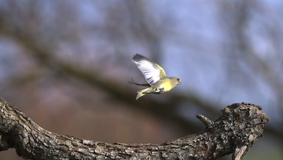 European Greenfinch, carduelis chloris, Adult taking off from Branch, Slow motion