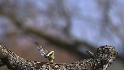 European Greenfinch, carduelis chloris, Adult taking off from Branch and Landing, Slow motion