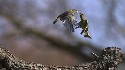 European Greenfinch, carduelis chloris, Adult feeding on Branch and Fighting with another Greenfinch, Slow motion