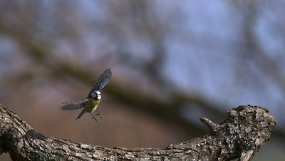 Blue Tit, parus caeruleus , Adult taking off from Tree Trunk, Flying with Food in its Beak, Slow motion