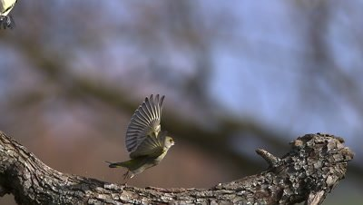 European Greenfinch, carduelis chloris, Adult taking off from Branch with Food in its Beak, Slow motion