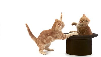 Red Tabby Domestic Cat, Adults Playing in Top Hat against White Background, Slow motion
