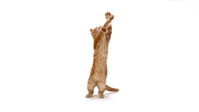 Red Tabby Domestic Cat, Adult Leaping against White Background, Slow motion