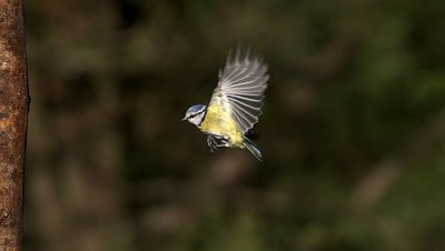 Blue Tit, parus caeruleus , Adult flying and Landing on Tree Trunk,  Slow motion