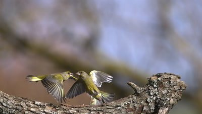 European Greenfinch, carduelis chloris, Adult standing on Branch and Fighting with another Greenfinch, Slow motion