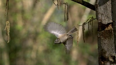 Crested Tit, parus cristatus, Adult standing on Tree Trunk, Taking off and Flying, Slow motion