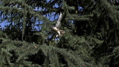 Long Eared Owl, asio otus, Adult in Flight, Taking off from Tree, Normandy in France, Slow Motion