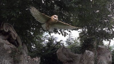 Barn Owl, tyto alba, Adult in Flight, Taking off from Tree Trunk, Normandy, Slow Motion