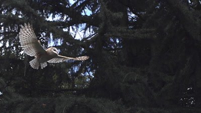 Barn Owl, tyto alba, Adult in Flight, Taking off from Tree, Normandy, Slow Motion