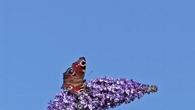 Peacock Butterfly, inachis io, Adult in Flight, Feeding on Buddleja or Summer Lilac, buddleja davidii, Normandy in France, Slow Motion