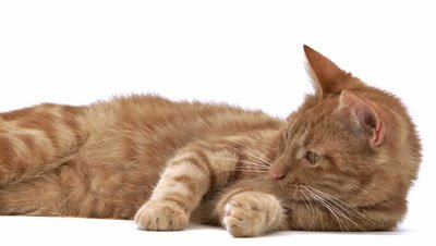 Red Tabby Domestic Cat, Adult Laying and Playing against White Background, Slow motion