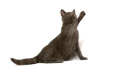 Chartreux Domestic Cat, Male Playing against White Background, Slow Motion
