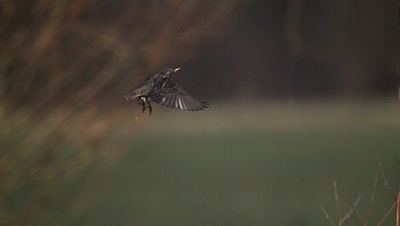 Common Starling, sturnus vulgaris, Adult in Flight, Normandy in France, Slow motion