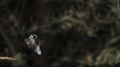 Blue Tit, parus caeruleus, Adult in Flight, Landing on Trough, Normandy, Slow motion