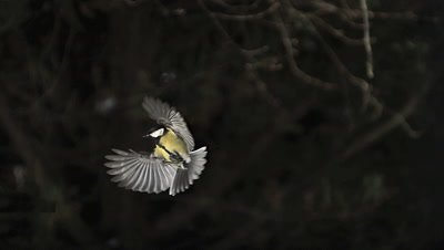 Great Tit, parus major, Adult in Flight, Landing on Trough, Normandy, Slow motion