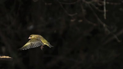 European Greenfinch, carduelis chloris, Adult in Flight, Landing on Trough, Normandy, Slow motion