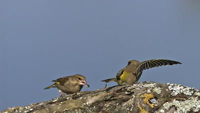 European Greenfinch, carduelis chloris, Adult in Flight, Taking off, Eating Seeds, Normandy, Slow motion