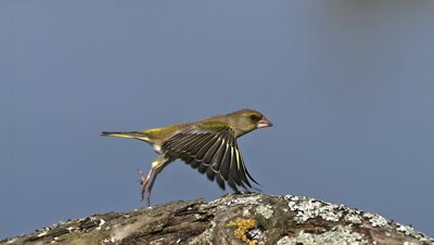 European Greenfinch, carduelis chloris, Adult in Flight, taking off from Branch, Normandy, Slow motion