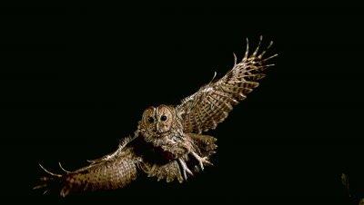Eurasian Tawny Owl, strix aluco, Adult in Flight, Normandy, Slow motion