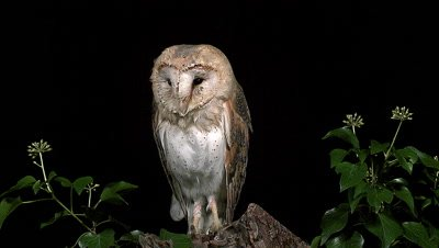 Barn Owl, tyto alba, Wings and Head Shaking, Normandy, Slow Motion