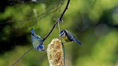 Blue Tit, parus caeruleus, Adult in Flight, Feeding at Trough, Normandy, Slow motion